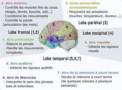 Les aires fonctionnelles du cortex cérébral