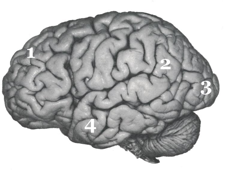 cerveau-lateral