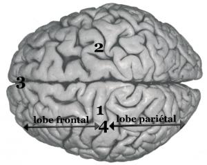 cerveau_entier_haut2