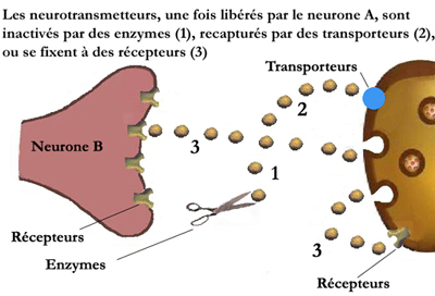 neurotransmetteurs1