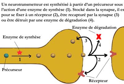 neurotransmetteurs2