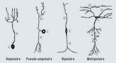 types_neurone